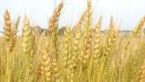 wheat[1]