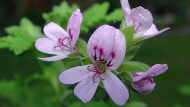 citronella_plant_citrosa_geranium_net