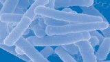 Lactobacillus-Acidophilus-