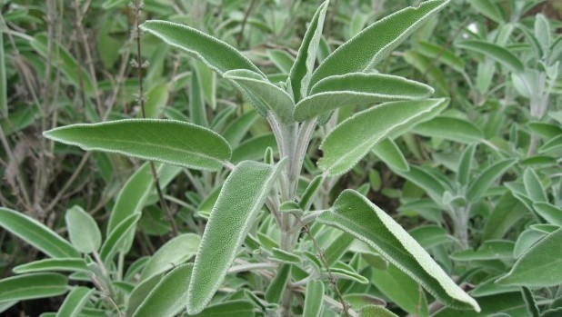 Salvia_officinalis_01_by_Line1