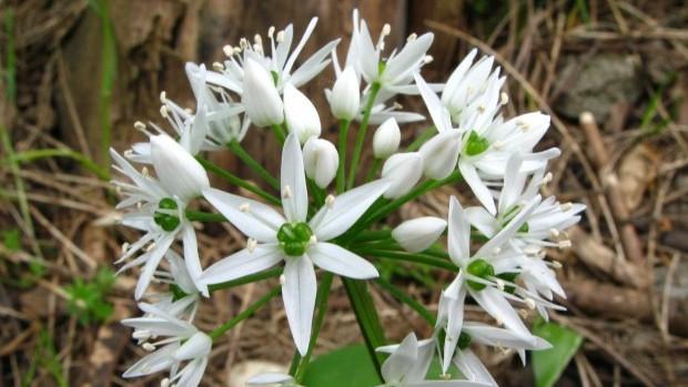 Allium_ursinum_(Bärlauch)_-_Blüte
