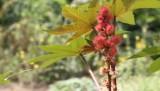 castor-oil-plant_1280