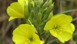 Oenothera-biennis-1