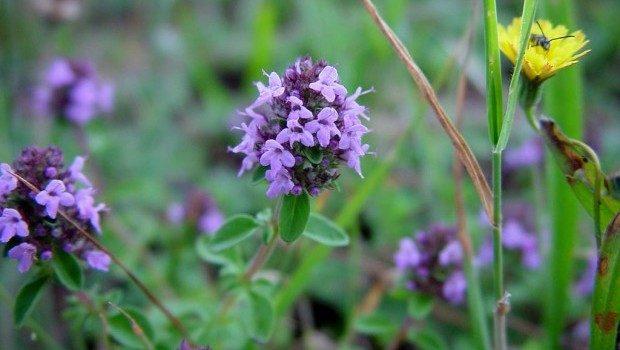 Thymus.serpyllum.3