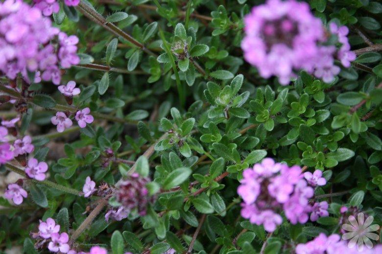 Thymus_praecox_subsp_arcticus_I26253P97538