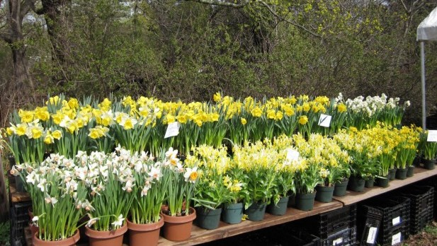 farmstand daffodils