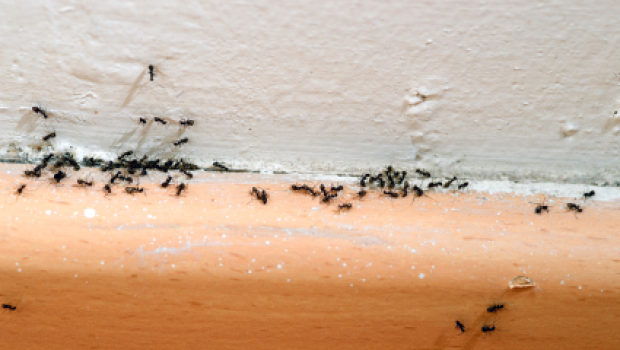 ants-in-house
