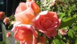 ruže 003