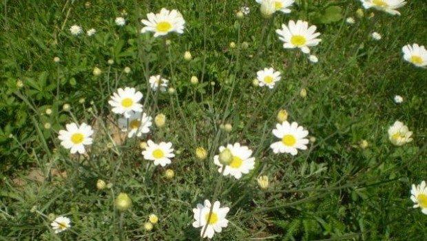dalmatinski-buhac