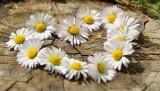 daisy-712898_640